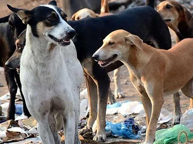 آوارہ کتوں کو مارنا ایک غیر شرعی فعل اور جانوروں کے حقوق کے منافی ہے، معصوم علی خالد فوٹو: فائل