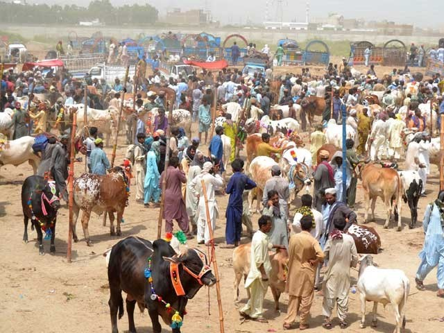 "The KP authorities has determined to permit cattle markets to be arrange at designated locations for Eid-ul-Adha. Photo, file ""width ="" 533 ""height ="" 400 ""/> </div> <p class="