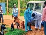 بکریوں کے تھوک کے نمونے لیبارٹری بھیجوائے گئے ہیں، فوٹو بھارتی میڈیا