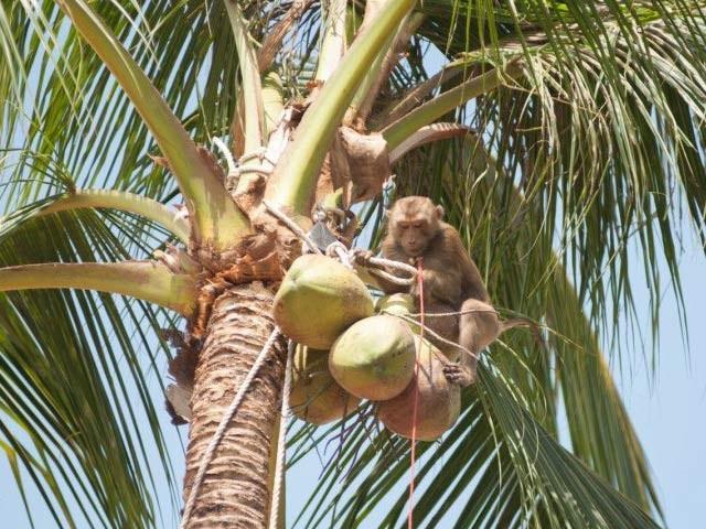 تھائی لینڈ میں ایک مکاک بندر روزانہ ایک ہزار ناریل اتارسکتا ہے۔ فوٹو: بی بی سی