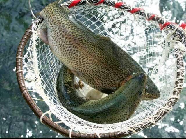 ٹراؤٹ مچھلی ضائع ہونے سے 60 کروڑ روپے سے زائد کے نقصان کا اندیشہ ہے، سوات ٹراؤٹ فش فارمنگ ایسوسی ایشن ۔ فوٹو : فائل