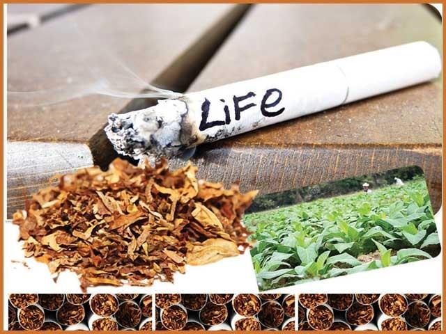 کینسر، امراض قلب سمیت متعدد بیماریوں کی جڑ تمباکو میں7ہزار کیمیکلز پائے جاتے ہیں