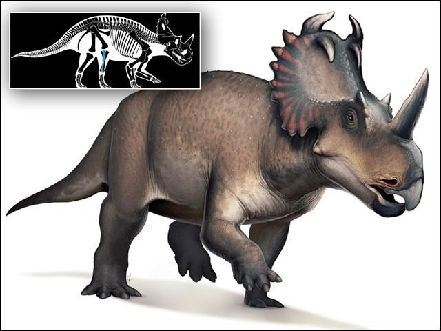 کینسر کا شکار بننے والا یہ ڈائنوسار ''سینٹروسارس'' تھا جو 7 کروڑ 60 لاکھ سال پہلے پایا جاتا تھا اور پودے کھاتا تھا۔ (تصاویر: وکی پیڈیا کامنز/ لینسٹ اونکولوجی)