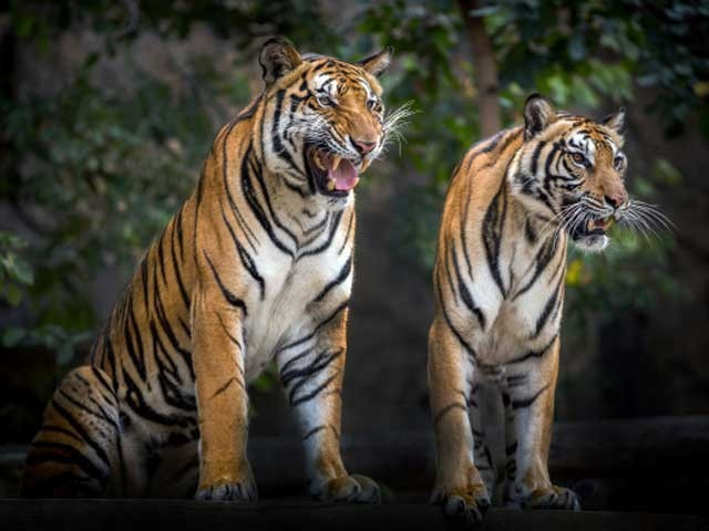 گوشت ڈالنے کے دوران 2 شیر پنجرے سے باہر آگئے، مالک۔ فوٹو: فائل