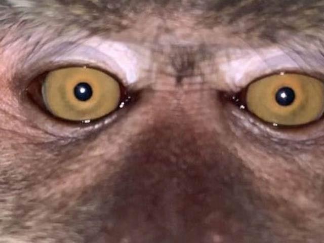 ملائیشیا میں 20 سالہ طالبعلم کا چوری شدہ فون ایک دن بعد ملا تو اس میں بندر کی ویڈیو اور تصاویر موجود تھیں۔ فوٹو: بی بی سی