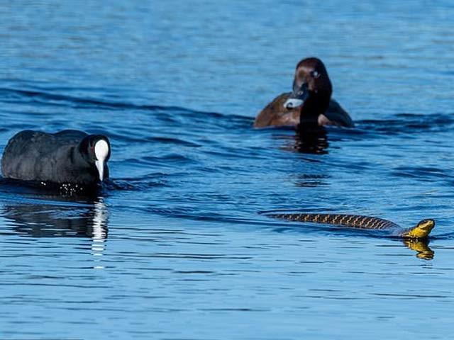 آسٹریلیا کے ایک پارک میں بطخوں نے سانپ کو کنارے تک پہنچایا ہے جس کا احوال کیمرے میں قید ہوگیا ہے۔ فوٹو: ڈیلی میل