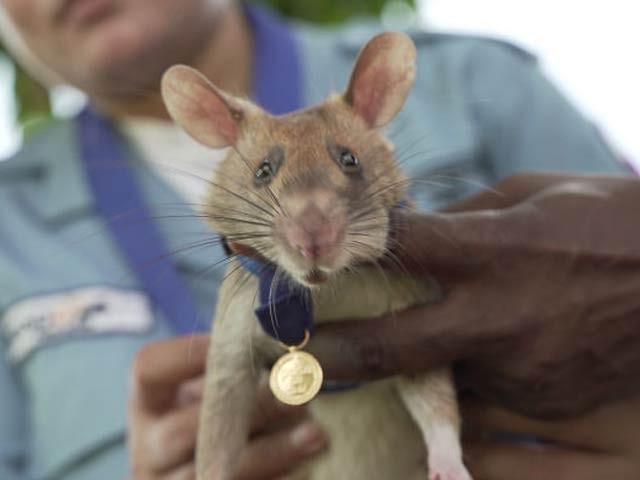 مگاوا کو درجنوں بارودی سرنگیں تلاش کرنے پر سونے کا تمغہ دیا گیا ہے۔ فوٹو: بی بی سی