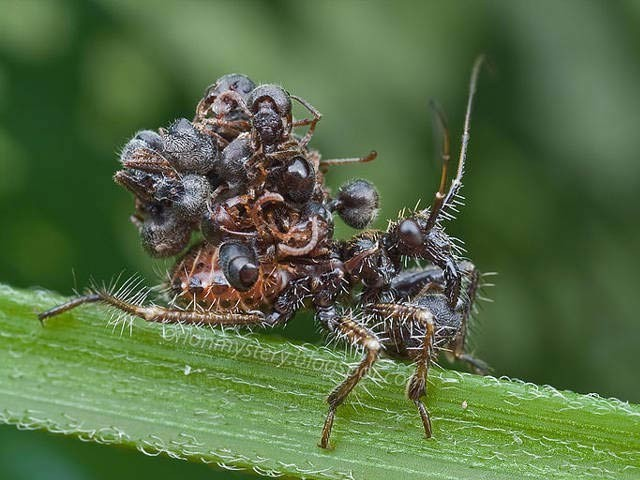 قدرت کے کارخانے میں پائے جانے والے اساسن بگ کیڑے اپنے شکار کی لاشوں کو اپنی بیٹھ پر چپکائے پھرتے ہیں۔ فوٹو: نیشنل جیوگرافک