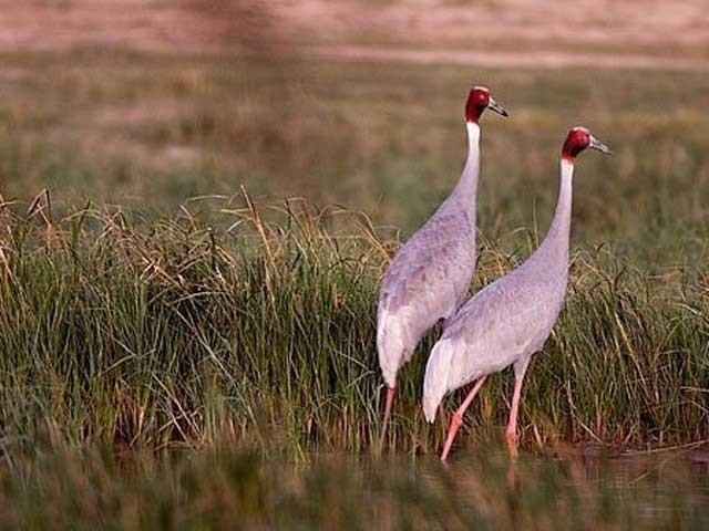 پنجاب وائلڈلائف ایکٹ کے تحت شیڈول ون کی کیٹیگری ون،ٹواورتھری میں شامل مرغابیوں کے شکار کی اجازت ہوگی