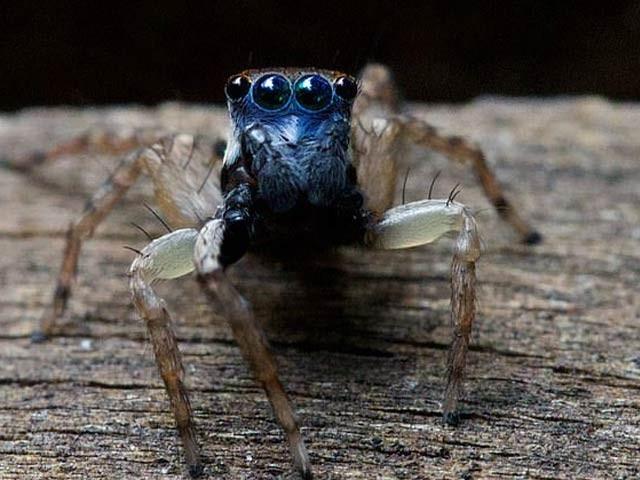 آسٹریلیا میں ایک گھریلو خاتون نے مکڑی کی نئی قسم دریافت کی ہے جس کا چہرہ نیلا آٹھ آنکھیں ہیں۔ فوٹو: آسٹریلیا ٹائم