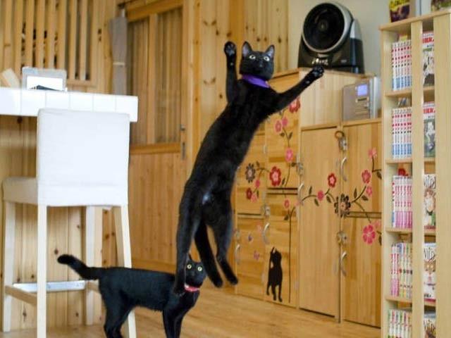جاپان میں سیاہ بلیوں کے مخصوص کیفے سے تیزی سے مقبول ہووریہ (فوٹو: نیکوبیاکا فیس بک پیج)