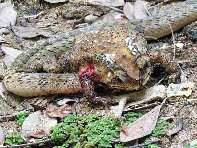 ککری سانپ اپنا سر شکار کے پیٹ میں گھسا کر اسے اندر سے کھاجاتا ہے۔ فوٹو: اوڈٹی سینٹرل