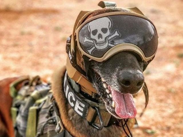 اس چشمے کے کتوں کو ہینڈلرز کی کمانڈز اور اشارے پر سمجھوتہ میں مدد کے حصے ، فوٹو: فائل