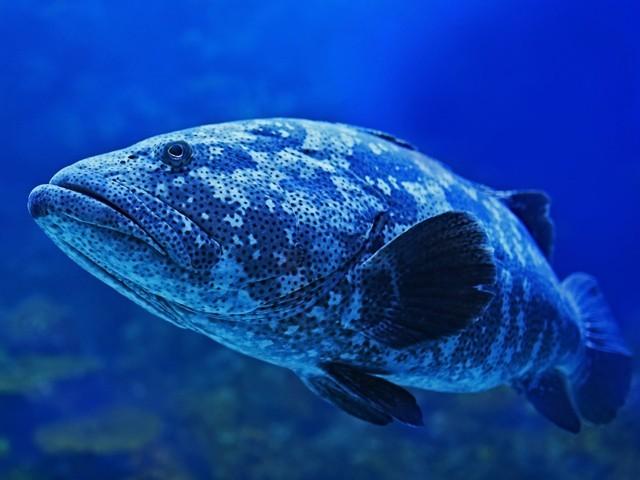 ڈپریشن کی وجہ سے میکو نامی اس گروپر مچھلی نے تیرنا چھوڑ دیا تھا اور زیادہ تر ایک ہی جگہ پڑی رہنے لگی تھی۔ (فوٹو: سی لائف ہیلنسکی)