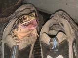 یہ مینڈک پچھلے ایک سال سے پرانے جوتے میں رہ رہا ہے۔ (تصاویر: سوشل میڈیا)