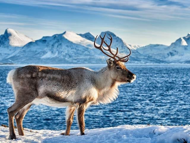 ماہرین نے کہا کہ اسکیٹرک کے برفیلے موسم میں جانوروں کی نقل مکانی میں بہت فرق آیا ہے۔  فوٹو: فائل