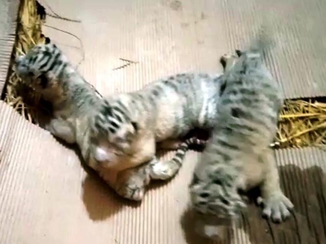 شیر اور ٹائیگر اپنے کمزور نوزائیدہ بچوں کو کھا جاتے ہیں فوٹو: ایکسپریس