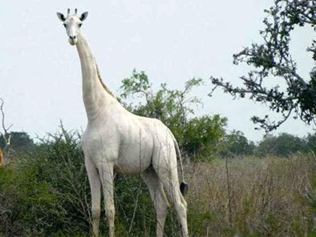 کرہ ارض پر بچ جانے والے آخری سفید زرافے کے تحفظ کی بھرپور کوشش کی جارہی ہے۔ فوٹو: سی این این