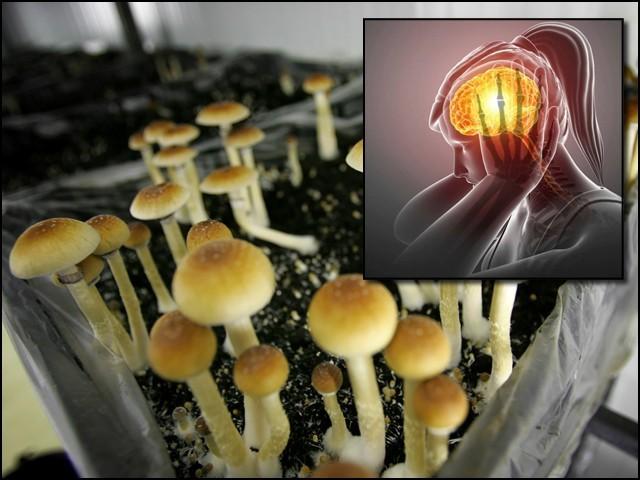 منشیات میں شمار کی جانے والی جادوئی کھمبی کو ڈپریشن اور اینگژائٹی کے بعد مائیگرین کے علاج میں بھی مفید پایا گیا ہے۔ (فوٹو: فائل)