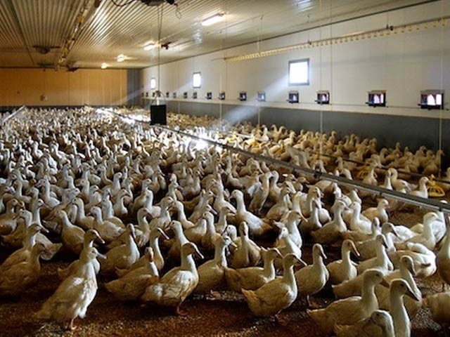 برڈ فلو کی روک تھام کے لیے لاکھوں بطخیں اور مرغیاں تلف کردی گئی ہیں(فوٹو، فائل)