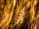 طویل عرصے بعد یہ پہلا موقع ہے کہ جب جینیاتی انجینئرنگ کے ذریعے گندم کی پیداوار میں اتنا اضافہ کیا گیا ہے۔ (فوٹو: انٹرنیٹ)
