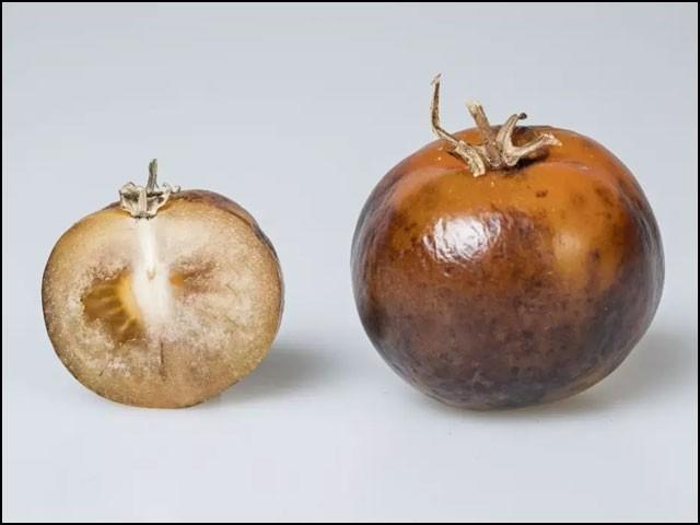 ان ٹماٹروں میں پارکنسن بیماری کی دوا 'ایل ڈوپا' اوسطاً 135 ملی گرام فی کلوگرام کی مقدار میں  موجود ہے۔ (فوٹو: جان انس سینٹر)