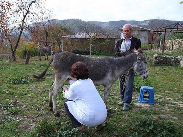 گدھے کی افزائش اور دودھ کی مانگ کرنے کے لئے فارم ہاؤسز کھلتے ہیں ، فوٹو: فائل
