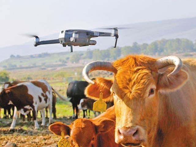 تصویر میں ایک ڈرون کے ذریعے گائے کے ریوڑ کو قابو کیا جارہا ہے (فوٹو: بی فری ایگرو)