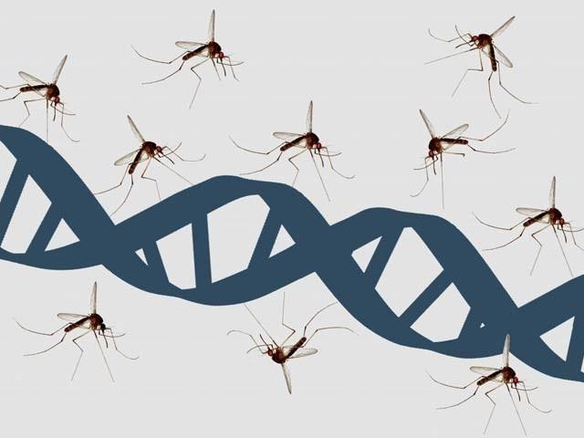 جینیاتی انجینیئرنگ سے گزارے گئے زندہ خردنامیوں سے بنا مائع آپ کو دو ہفتوں تک مچھروں سے محفوظ رکھ سکتا ہے۔ فوٹو: فائل