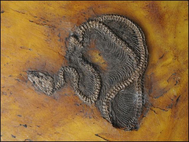 اس اژدہے کو '' میسیلوپائتھن فریائی '' کا نام نہیں لیا گیا تھا جو زیادہ لمبا ہوا سے چھٹ گیا تھا۔  (فوٹو: سنکنبرگ میوزیم آف نیچرل ہسٹری ، فرینکفرٹ)