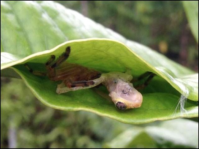 ''شکاری کی مکڑی'' مینڈک کو شکار کرنے کے بعد اس کی دعوت اُڑا رہی ہے۔ (فوٹو: ڈومینیک اینڈریاس مارٹن)