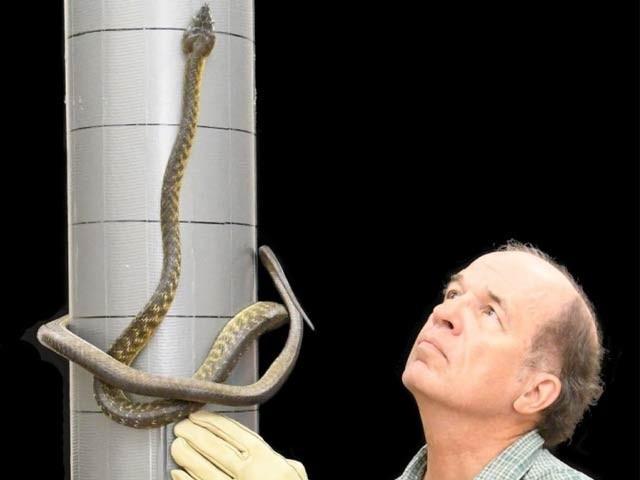 ماہرین نے بھورے شجری سانپ میں حرکت اور آگے بڑھنے کی ایک بالکل نئی قسم دریافت کی ہے۔ فوٹو: نیوسائنٹسٹ