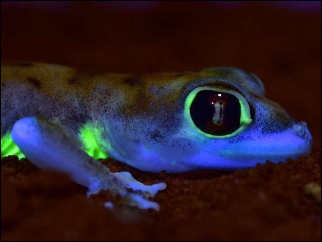 یہ چھپکلی چاند کی روشنی میں موجود الٹرا وائیلٹ شعاعیں جذب کرکے شوخ سبز روشنی خارج کرتی ہے۔ (فوٹو: زیڈ ایم ایس میونخ/ پوسٹ ڈیم یونیورسٹی)