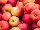 سیب کھانے میں زیادتی کی صورت میں بدہضمی، موٹاپا، دانتوں کے متاثر ہونے کاخدشہ موجود رہتا ہے۔ فوٹو: فائل