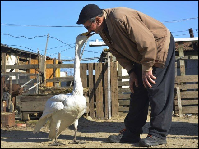 ترک ڈاکیہ رجب مرزان اس راج ہنس 'غریب' کا بالکل اسی طرح خیال رکھتا ہے جیسے وہ اس کی سگی اولاد ہو۔ (تصاویر: انٹرنیٹ)