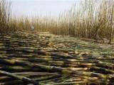 کسان کی مرضی ہے دوسرے صوبوں سمیت جہاں چاہے گنا فروخت کرے، لاہور ہائیکورٹ