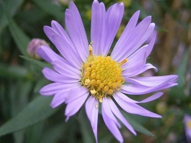 تصویر میں دیکھے جانے والے پھول کو ایک دن میں 9 سال پہلے سے زیادہ تحقیق کا موقع ملا ہے۔  فوٹو: وکی میڈیا کامنز