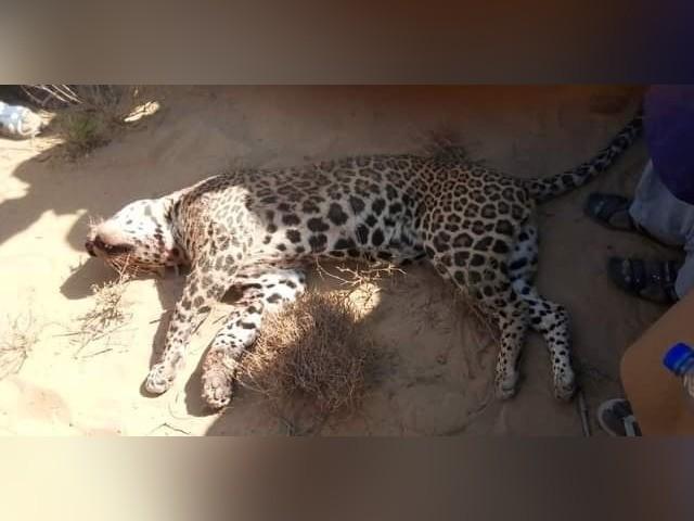 چیتے نے حملہ کرکے 8 افراد کو زخمی کردیا تھا
