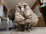 بھیڑ کے جسم سے اون اتارے 5 سال بیت گئے تھے، فوٹو : فیس بک