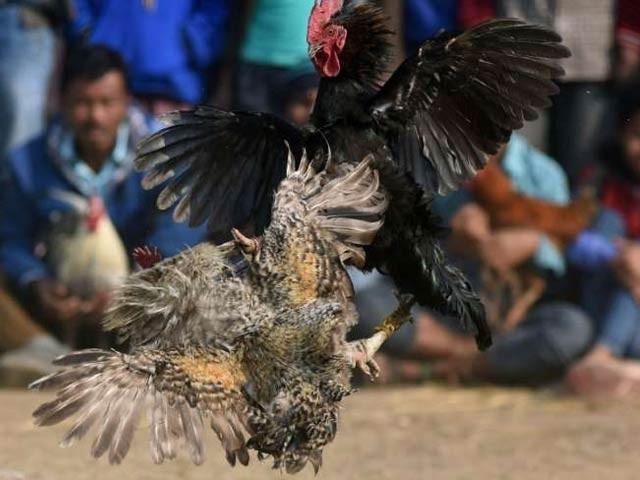 مرغوں کی لڑائی کروانے والے دیگر 15 افراد کو بھی حراست میں لے لیا گیا(فوٹو، فائل)