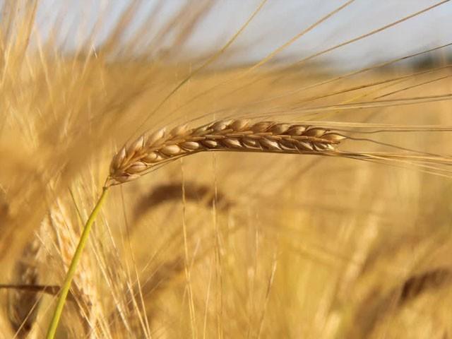 فیصلہ گندم کی مقامی ضروریات کو پورا کرنے کے لیے کیا گیا ہے