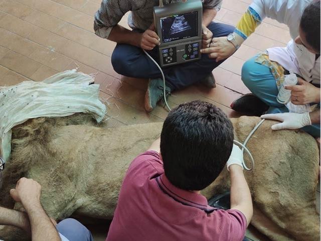 نراورمادہ دونوں شیراپنی طبعی عمرپوری کرچکے ہیں اور کچھ عرصہ سے شدیدعلیل ہیں(فوٹو، فائل)
