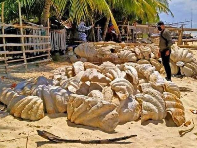 فلپائن میں بڑی سیپیوں کے رکازات اسمگل کرنے کی کوشش ناکام  بنادی گئی جن کی مالیت اربوں روپے تھی۔ فوٹو: سی این این