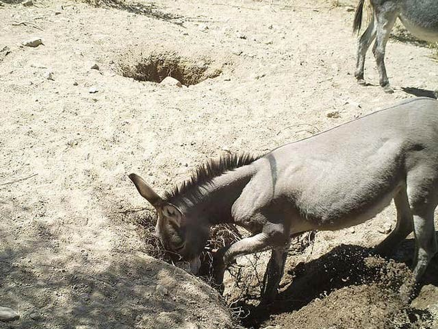 گدھے، خچر اور جنگلی گھوڑے کنووں کھود کر دیگر درجن اقسام کے جانوروں کے لیے پانی فراہم کرتے ہیں۔ فوٹو: نیوسائنٹسٹ