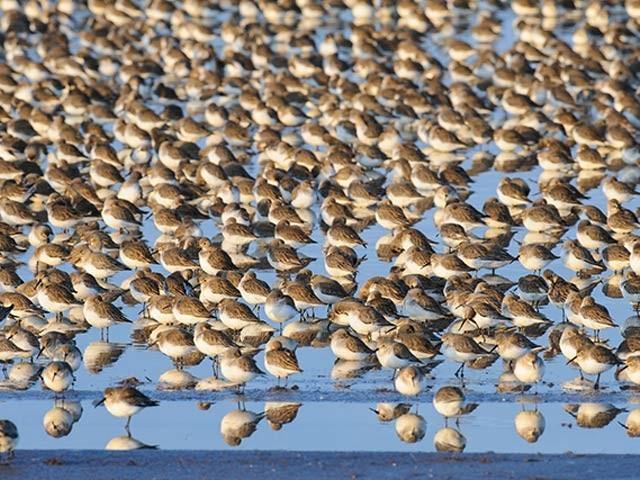 ایک محتاط اندازے کے مطابق اس وقت کرہ ارض پر آزاد اور غیرپالتو پرندوں کی تعداد 50 ارب یا اس سے کچھ زائد ہوسکتی ہے۔ فوٹو: فائل