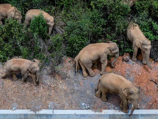 چین میں 15 ہاتھیوں نے فرار اختیار کرتے ہوئے 500 کلومیٹر سفر طے کیا اور درجنوں مقامات اور فصلوں کو برباد کیا ہے۔ فوٹو: سی این این