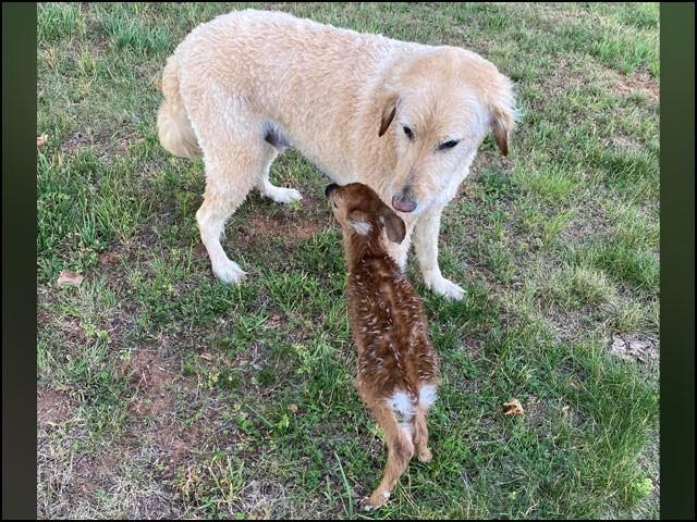 اپنی جان بچانے والے کتے کو دیکھتے ہی ہرن کا بچہ دوڑا آیا اور اپنی چھوٹی سی زبان نکال کر اسے چاٹنے لگا۔ (تصاویر: فیس بُک)