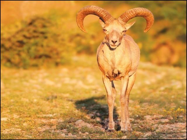 ایک سال سے بھی کم عرصے میں سالٹ رینج میں ہرنوں اور اڑیال کا قتل عام ہوا ہے۔ (فوٹو: فائل)