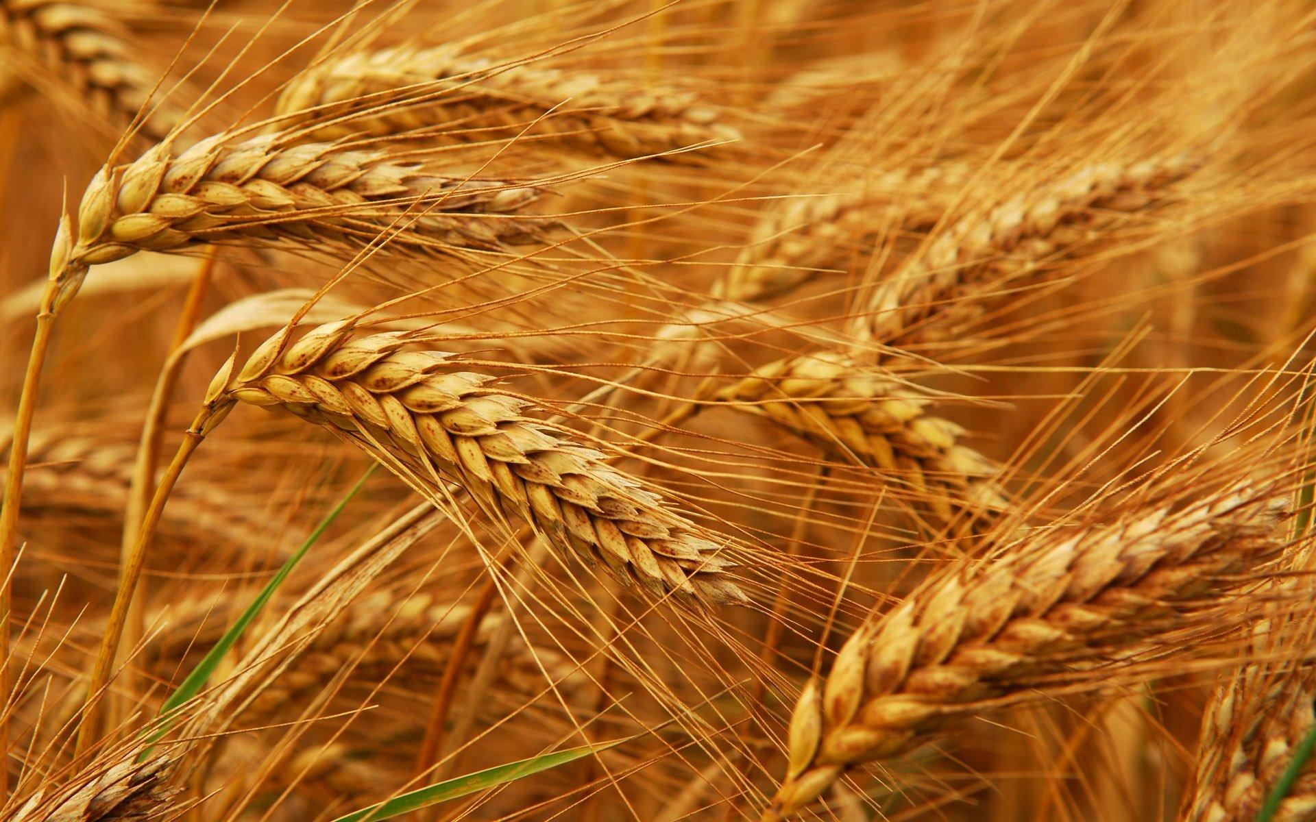 رواں مالی سال میں جولائی سے مئی کے دوران 157 ارب 78 کروڑ کی گندم درآمد کی گئی، رپورٹ (فوٹو:فائل)