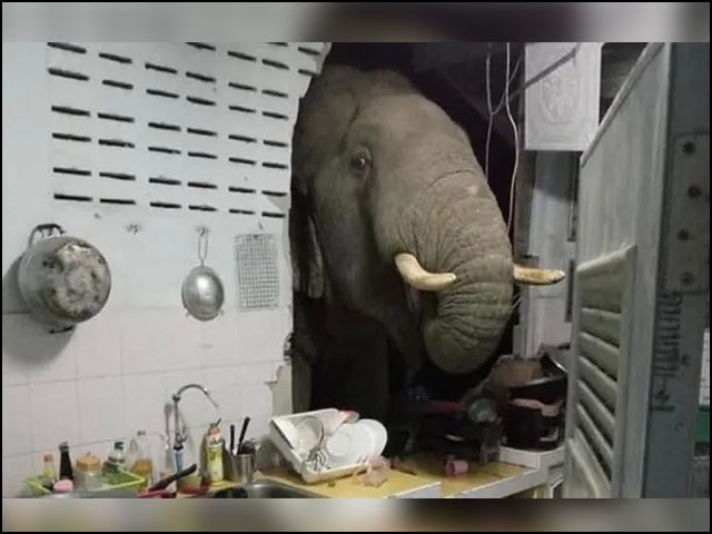 کچن میں گھسنے والی ہاتھی نے کھانے کی تلاش میں برتن اور دیگر سامان فرش پر پھینک دیا۔(فوٹو: ٹیلی گراف)